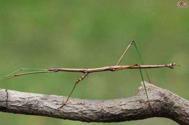 Gambar Stick Insect Nama Hewan Dari Huruf S