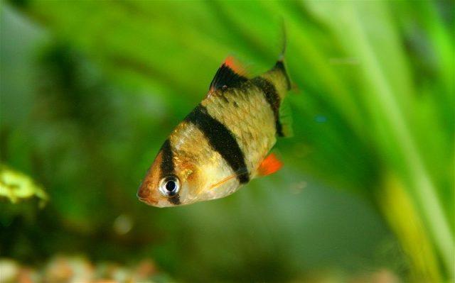 Gambar Sumatra ( Ikan ) Nama Hewan Dari Huruf S