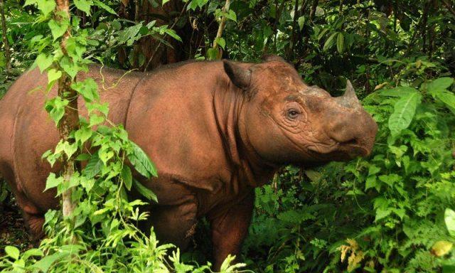 Gambar Sumatran Rhinoceros Nama Hewan Dari Huruf S