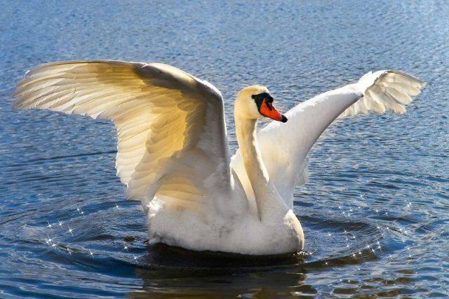 Gambar Swan Nama Hewan Dari Huruf S