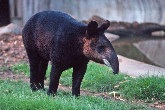 Gambar Tapir ( Bahasa Indonesia ) Nama Hewan Dari Huruf T