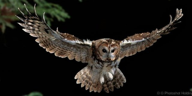 Gambar Tawny Owl Nama Hewan Dari Huruf T