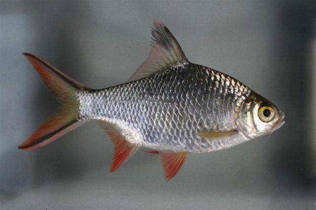 Gambar Tengadak (ikan) Nama Hewan Dari Huruf T