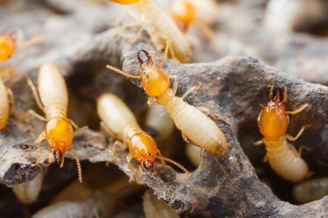 Gambar Termite Nama Hewan Dari Huruf T