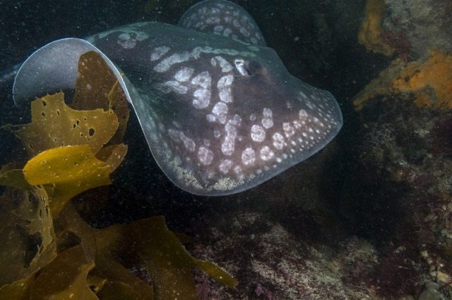 Gambar Ikan Pari Urolophus gigas