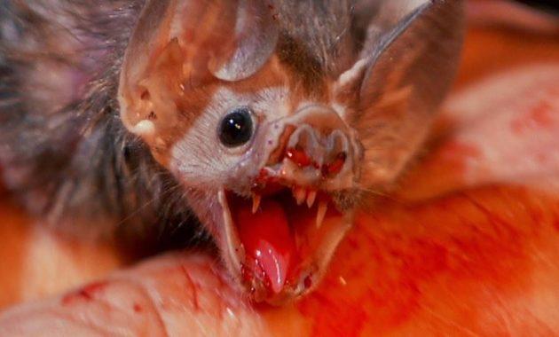 Gambar Vampire Bat Nama Hewan Dari Huruf V