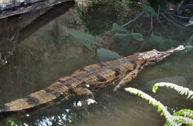 Gambar buaya gharials palsu ( Tomistoma schlegelii ) Dan Foto Hewan Langka Di Indonesia Beserta Daerah Asalnya