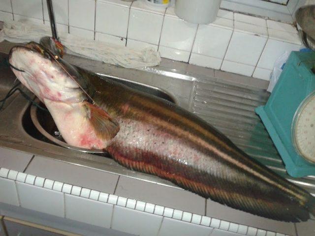 Gambar tapah (ikan) Nama Hewan Dari Huruf T