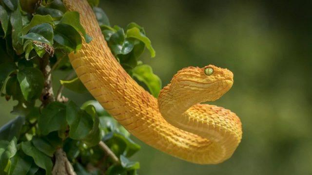 Gambar viper snake Nama Hewan Dari Huruf V