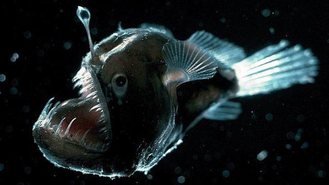 Gambar Ikan Di Lautan Dalam Anglerfish