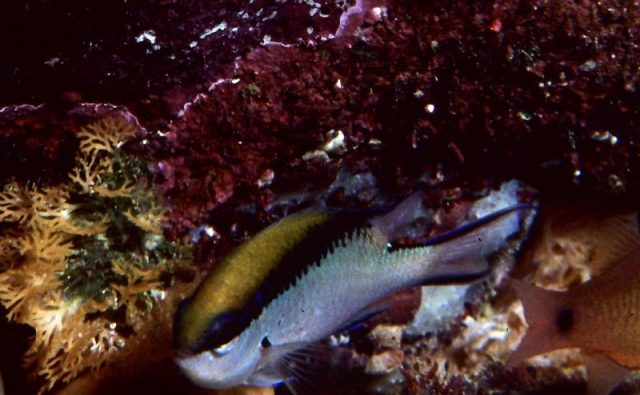Gambar Ikan Hias Air Laut Barrier reef chromis