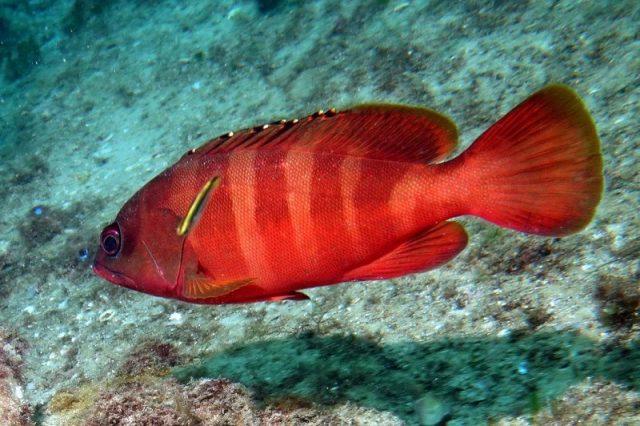 Gambar Ikan Hias Air Laut Blacktip grouper