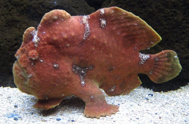 Gambar Ikan Hias Air Laut Commerson's frogfish