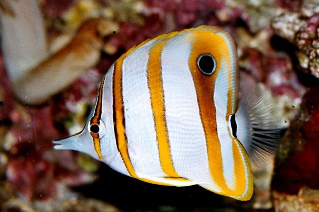Gambar Ikan Hias Air Laut Copperband butterflyfish