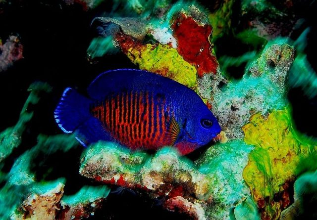 Gambar Ikan Hias Air Laut Coral beauty angelfish
