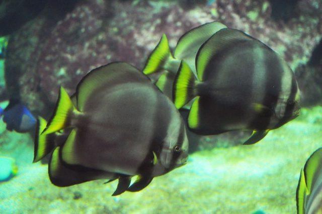 Gambar Ikan Hias Air Laut Dusky batfish