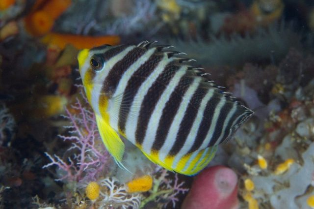 Gambar Ikan Hias Air Laut Barred angelfish
