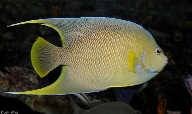 Gambar Ikan Hias Air Laut Blue angelfish