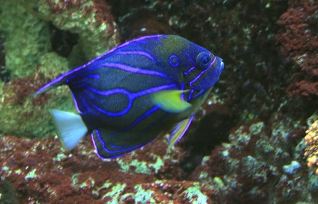 Gambar Ikan Hias Air Laut Blue ring angelfish