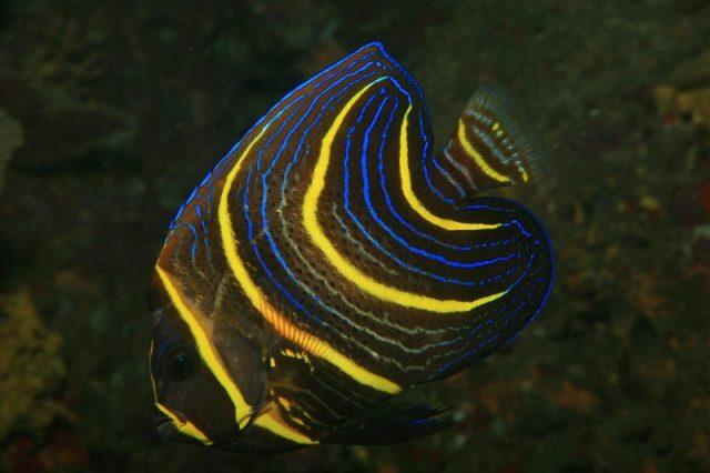 Gambar Ikan Hias Air Laut Cortez angelfish