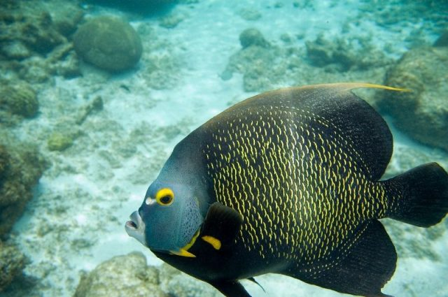 Gambar Ikan Hias Air Laut French angelfish