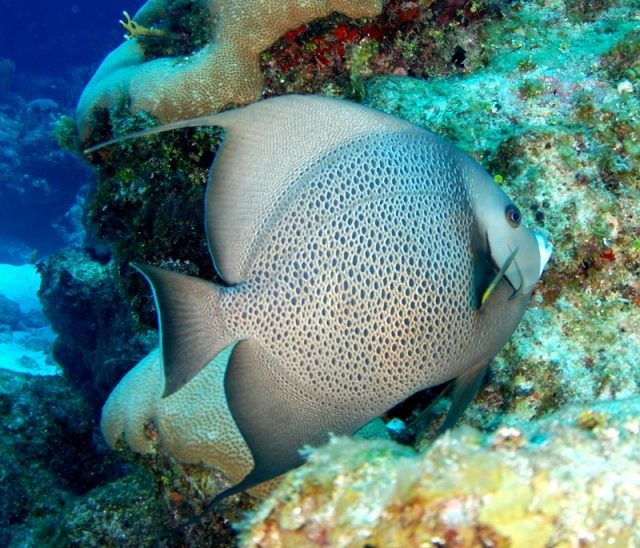Gambar Ikan Hias Air Laut Gray angelfish