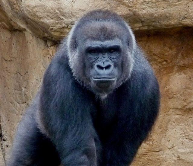 Gambar Daftar Nama Hewan Mamalia Gambar Daftar Nama Hewan Mamalia Gambar Daftar Nama Hewan Mamalia Gorila