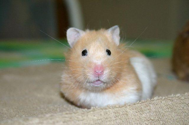 Gambar Daftar Nama Hewan Mamalia Hamster