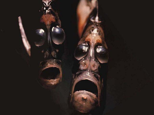 Gambar Ikan Di Lautan Dalam Hatchetfish