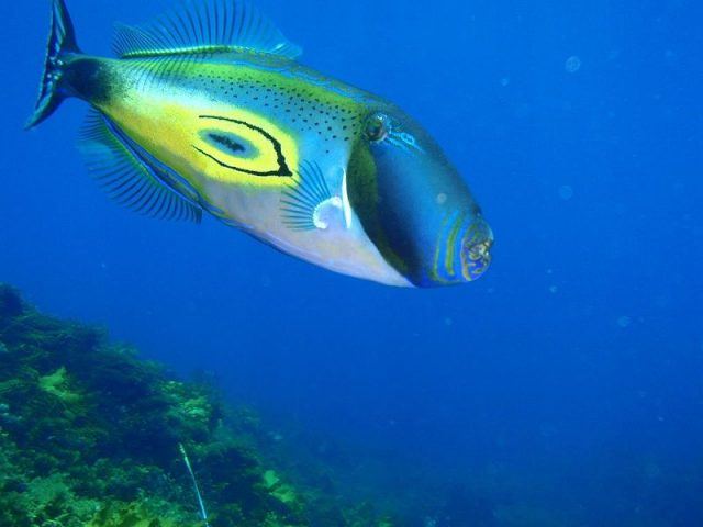 Gambar Ikan Hias Air Laut Horseshoe filefish