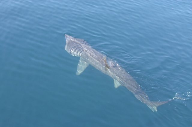 Gambar Ikan Terbesar Di Dunia Ikan Hiu Penjemur (basking shark)
