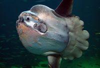 Gambar Ikan Terbesar Di Dunia Ikan Matahari ( ocean sunfish )