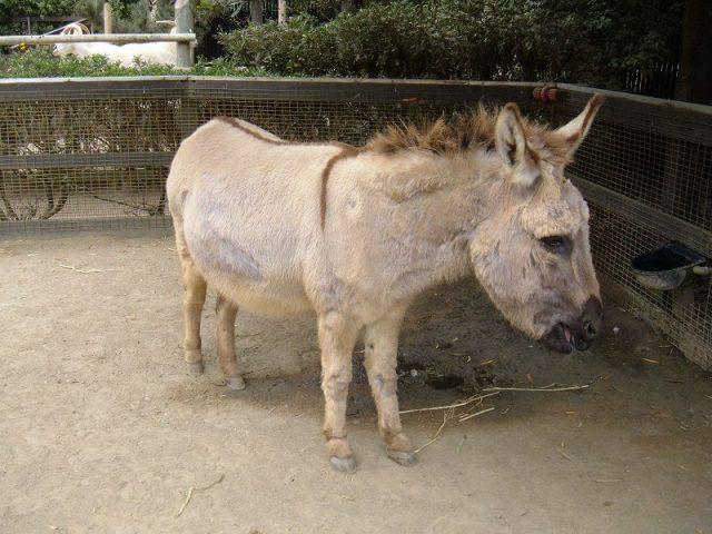 Gambar Daftar Nama Hewan Mamalia Keledai