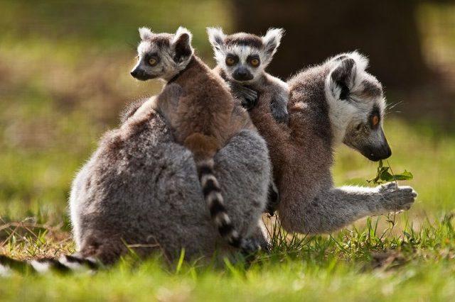 Gambar Daftar Nama Hewan Mamalia Gambar Daftar Nama Hewan Mamalia Gambar Daftar Nama Hewan Mamalia Lemur