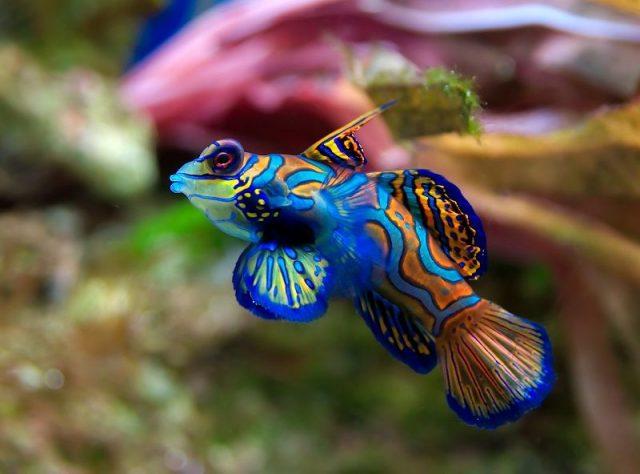 Gambar Ikan Hias Air Laut Mandarinfish