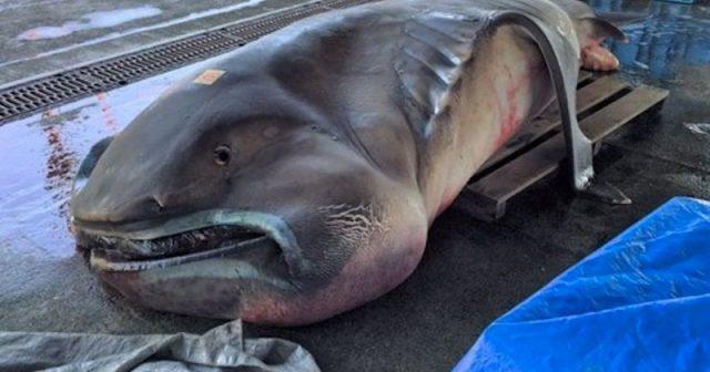 Gambar Ikan Di Lautan Dalam Megamouth Shark