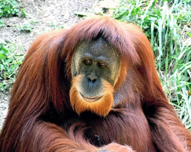Gambar Daftar Nama Hewan Mamalia Gambar Daftar Nama Hewan Mamalia Gambar Daftar Nama Hewan Mamalia Orangutan