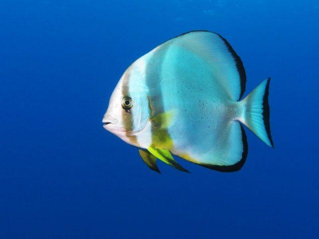 Gambar Ikan Hias Air Laut Orbiculate batfish