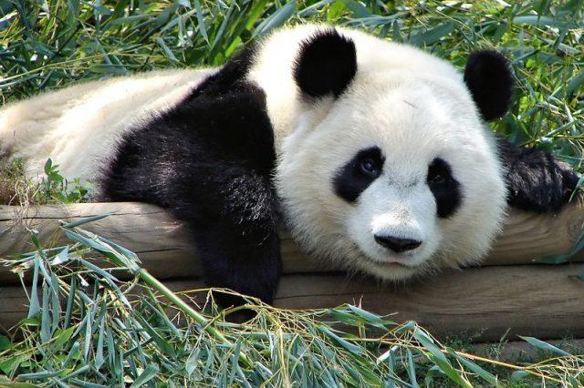Gambar Daftar Nama Hewan Mamalia Panda