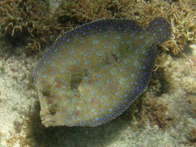 Gambar Ikan Hias Air Laut Peacock flounder