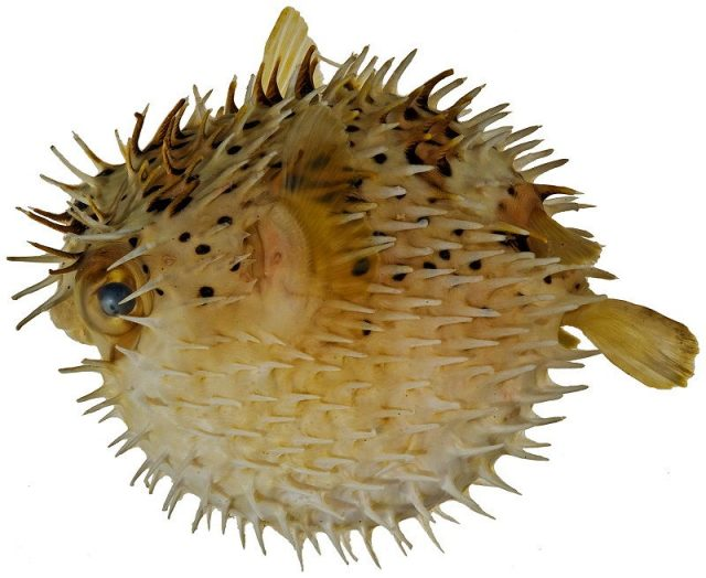 Gambar Ikan Hias Air Laut Porcupine pufferfish