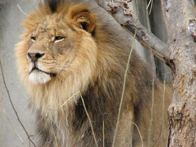 Gambar Daftar Nama Hewan Mamalia Singa