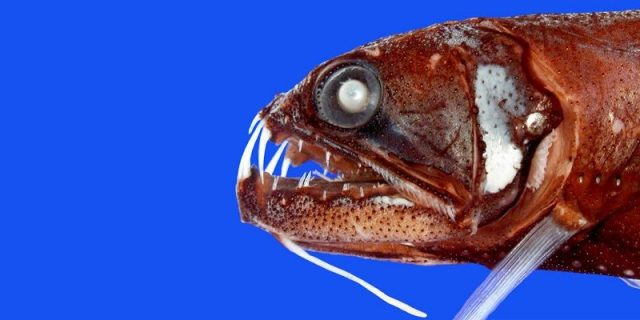 Gambar Ikan Di Lautan Dalam Snaggletooth fish