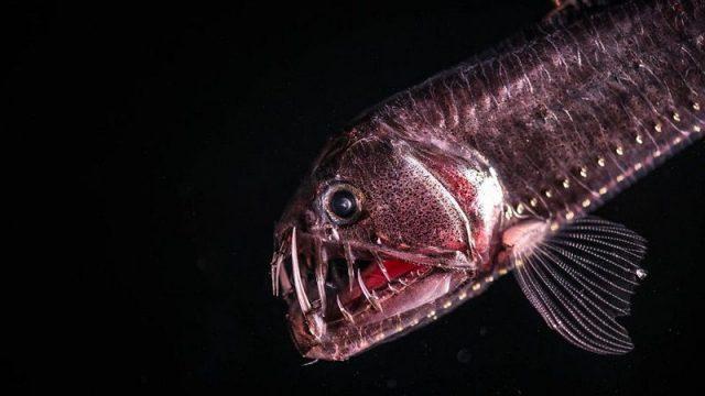 Gambar Ikan Di Lautan Dalam Viperfish