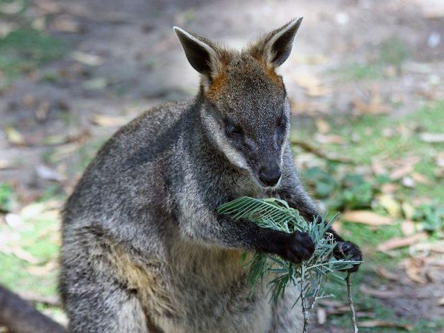 Gambar Wallaby Nama Hewan Dari Huruf W