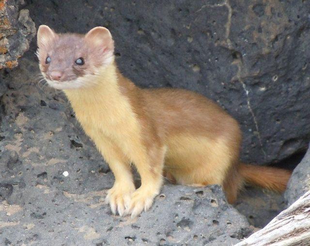 Gambar Weasel Nama Hewan Dari Huruf W