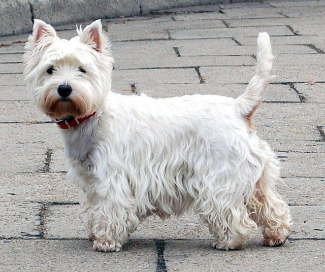 Gambar West Highland Terrier Nama Hewan Dari Huruf W