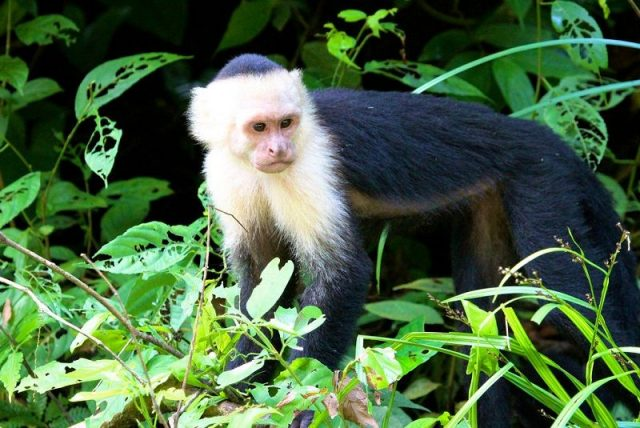 Gambar White Faced Capuchin Nama Hewan Dari Huruf W