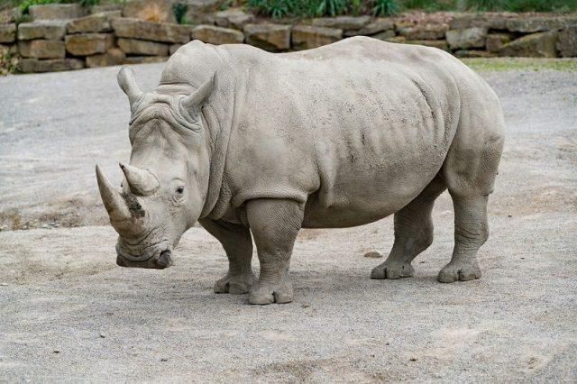 Gambar White Rhinoceros Nama Hewan Dari Huruf W