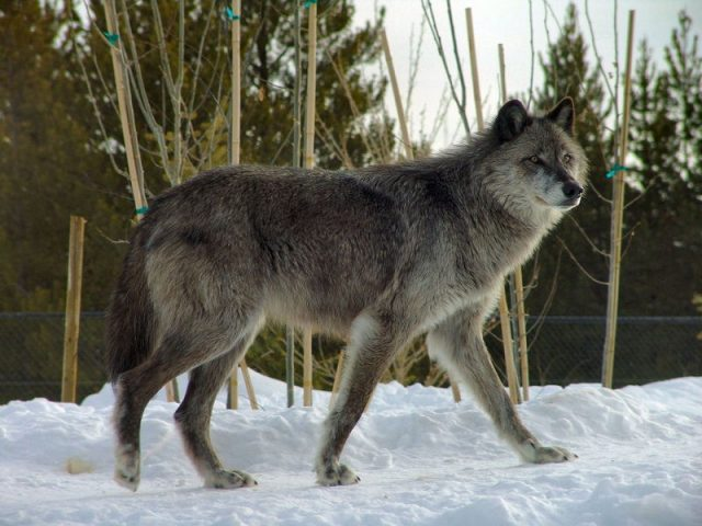 Gambar Wolf Nama Hewan Dari Huruf W
